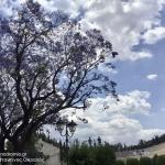 Οι κουτσουπιές της Αθήνας, τα δέντρα που τη στολίζουν